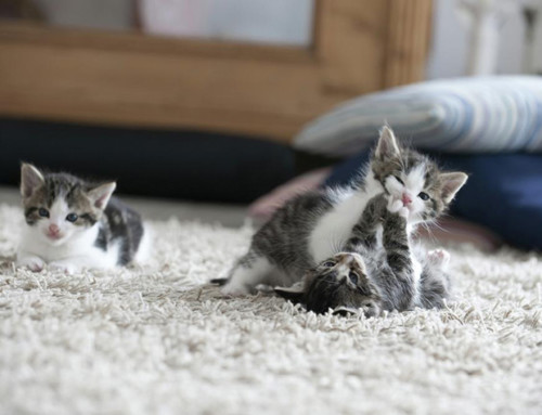 Cat Owners' Carpet Cleaning Troubles