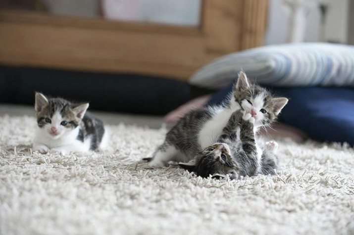 three cute blue eyed kittens playing on a soft carpet